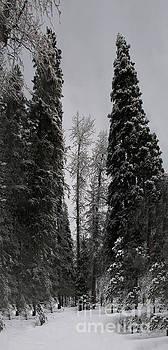 Rod Wiens - Trees