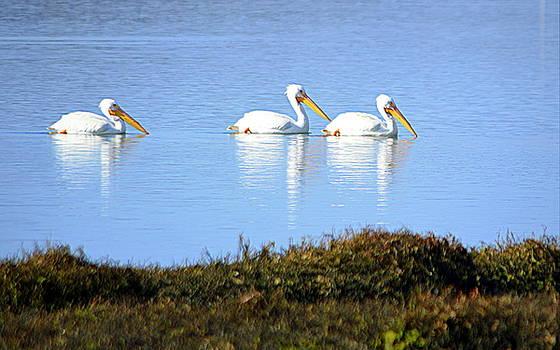 Tres Pelicanos Blancos by AJ Schibig