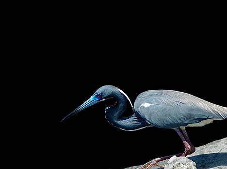 Tri Colored Heron 4 by David Weeks