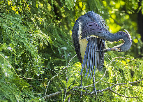 Tri-colored Heron Grooming by Paula Porterfield-Izzo