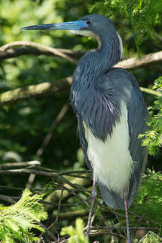 Tri-Colored Heron by Linda Geiger