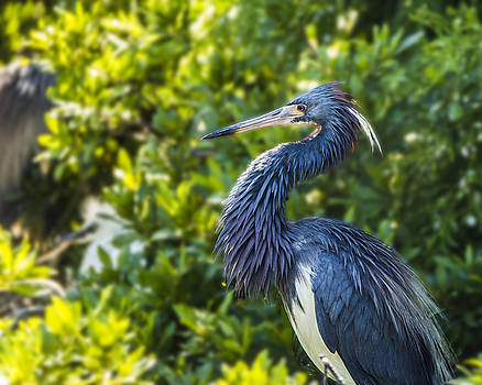 Tri-Colored Heron Plumage by Paula Porterfield-Izzo