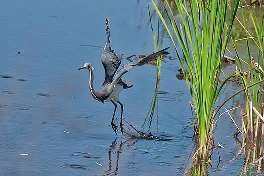 Tri-Colored Heron Takes Off by TJ Baccari
