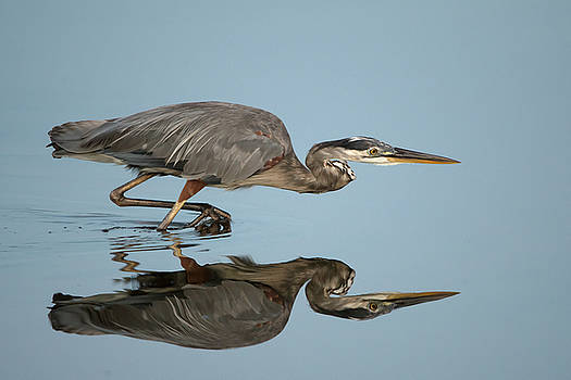 Tricolor Heron hunting by George DeCamp