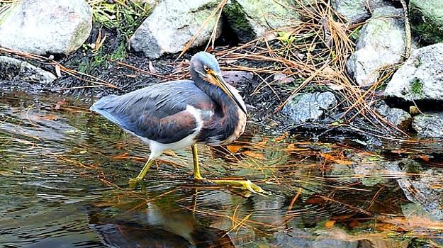 Tricolor Heron Strut by William Bosley