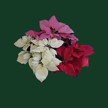 Tricolor Poinsettias transparent background   by R  Allen Swezey