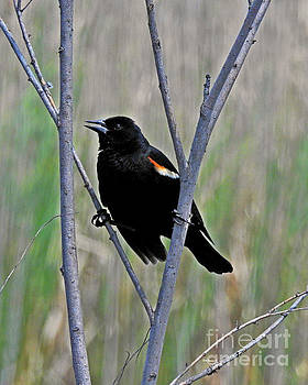 Tricolored Blackbird by Kathy M Krause