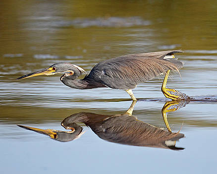 Tricolored Heron by Brian Magnier