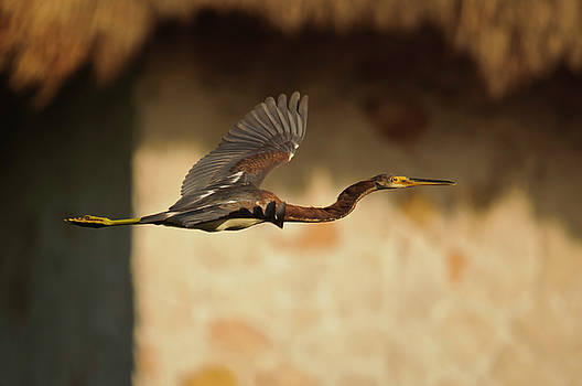 Christine Kapler - Tricolored Heron