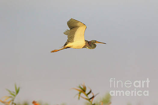 Tricolored Heron Egretta tricolor in flight by Louise Heusinkveld