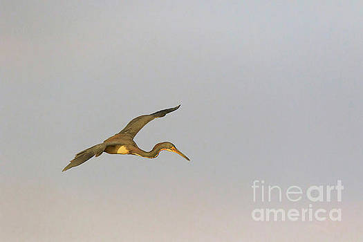 Tricolored Heron in flight by Louise Heusinkveld