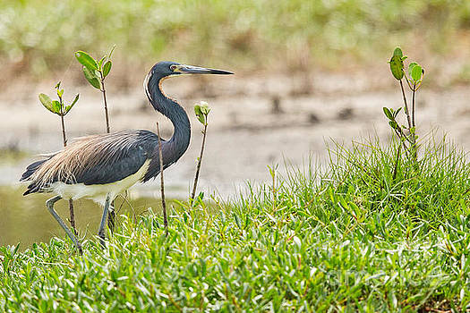 Tricolored Heron in Florida by Natural Focal Point Photography