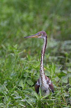 Paul Rebmann - Tricolored Heron in the Green