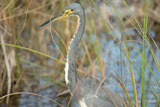 Tricolored Heron On The Hunt by Frank Madia