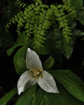 Charles Lucas - Trillium and Maiden Hair Fern