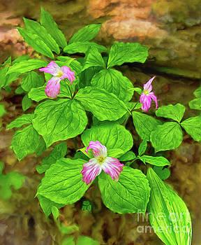 Dan Carmichael - Trillium Flowers in the Blue Ridge AP