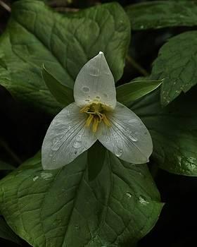 Charles Lucas - Trillium in the Rain