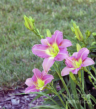 Trio Lavender Day Lilies by Dan De Ment