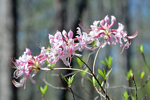Trio of Blooming Rhododendron Flowers at Crowders Mountain State Park NC by Bruce Gourley