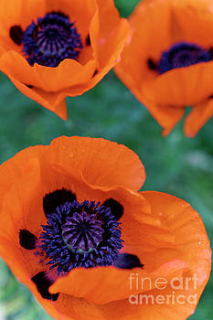 Trio of Poppies by John  Mitchell