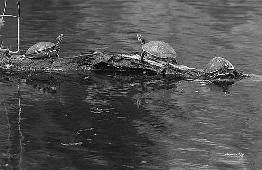 Trio of Turtles Sunning - Black and White by Suzanne Gaff