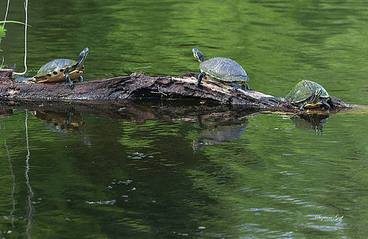 Trio of Turtles Sunning by Suzanne Gaff