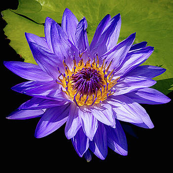 Julie Palencia - Tropical Day Blooming Water Lily in Lavender
