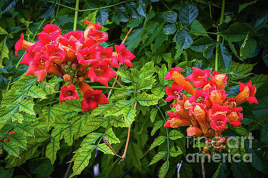 Jon Burch Photography - Trumpet Vine