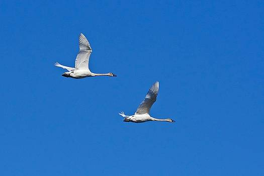 Trumpeter Swan 1727 by Michael Peychich