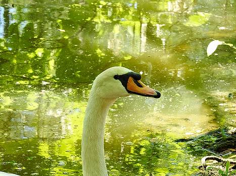 Trumpeter Swan Impression by Sheila Price