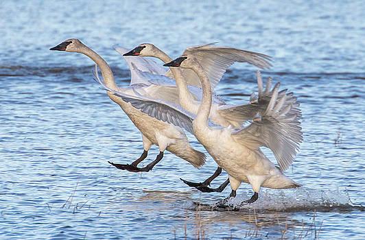 Dee Carpenter - Trumpeter Swan Landing