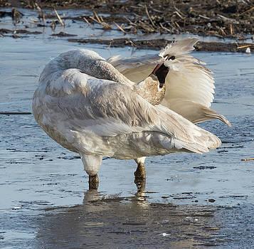 Dee Carpenter - Trumpeter Swan Preening