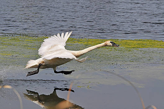 Trumpeter Swan Take Off 2 by Peter McIntosh