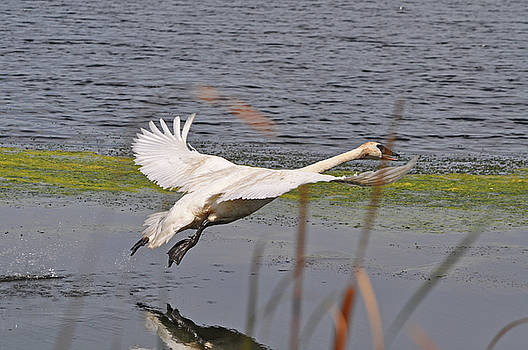Trumpeter Swan Take Off 3 by Peter McIntosh