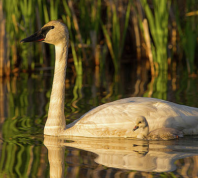 Max Waugh - Trumpeter Swan with Cygnet