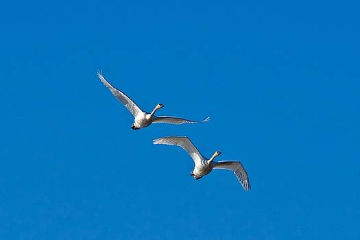 Trumpeter Swans 1735 by Michael Peychich