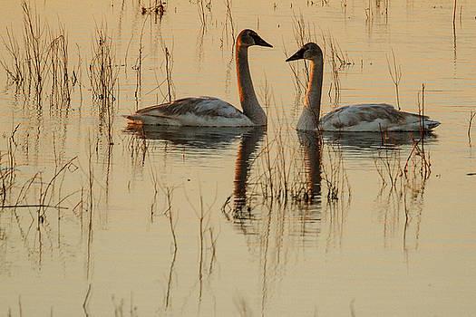 Trumpeter Swans at Dawn by Allen Ahner