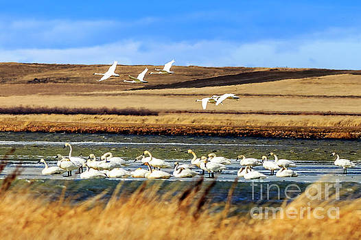 Trumpeter Swans at Freezeout Lake by John Lee