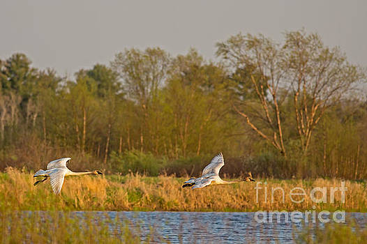 Trumpeter Swans Coming In For A Landing by Natural Focal Point Photography