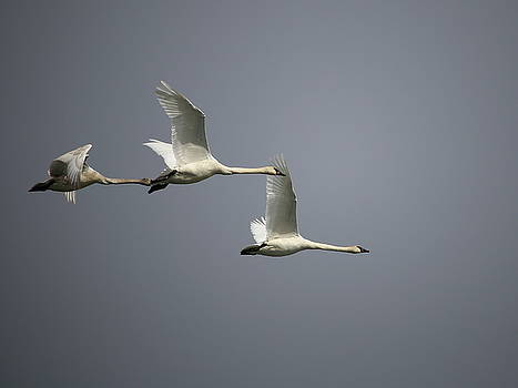 Trumpeter Swans in Flight by Kimberly VanNostrand