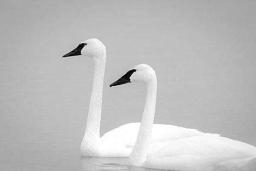 Jeff Phillippi - Trumpeter Swans