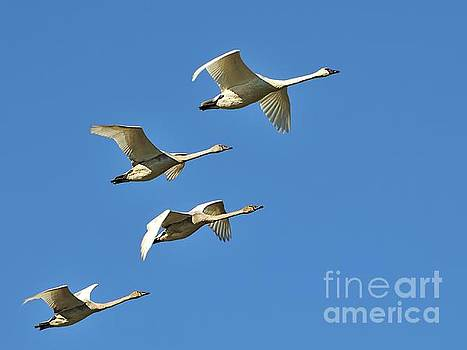 Trumpeter Swans by Robert Nowland