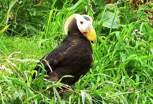 Tufted Puffin by Anthony Jones