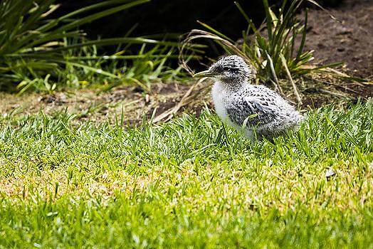 Steven Ralser - Crested Tern Chick - Montague Island - NSW - Australia