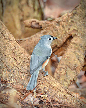 Tufted Titmouse at Bisset Park - Radford Virginia by Kerri Farley