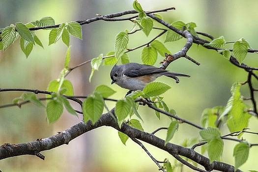 Tufted Titmouse by Betty Pauwels
