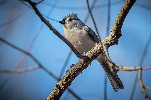Tufted Titmouse by Gary E Snyder