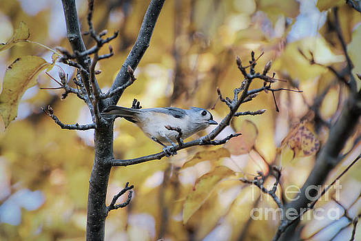 Tufted Titmouse in Autumn by Kerri Farley