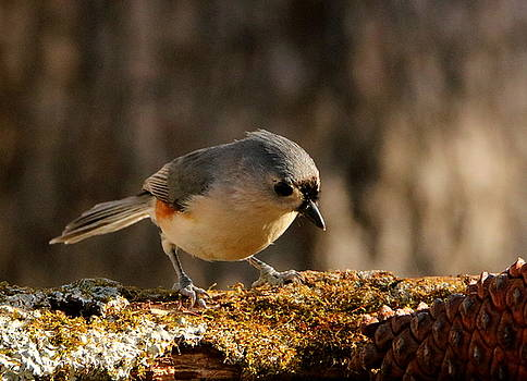 Tufted Titmouse in Fall by Sheila Brown