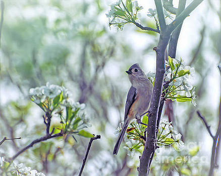 Tufted Titmouse In Spring Blossoms by Kerri Farley